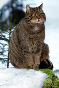 Forest Cat, Bayerisc